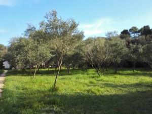 Nasad oliv