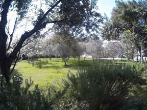 Vrt in olive 2